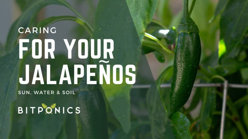 Caring for Your Peppers