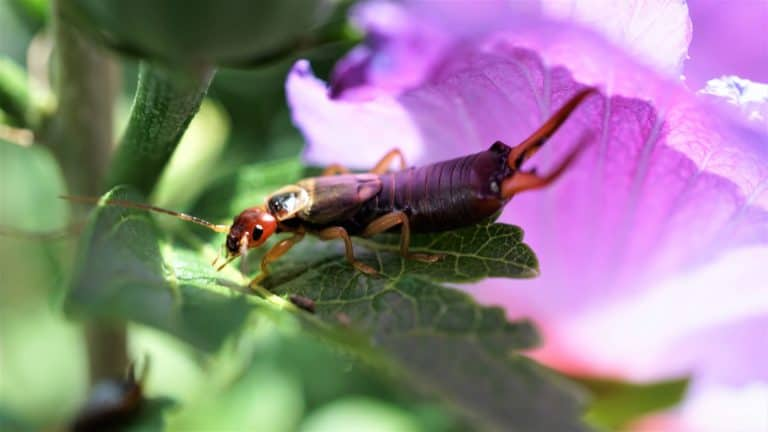 How to Get Rid of Earwigs in the Garden for Good (2 Methods)