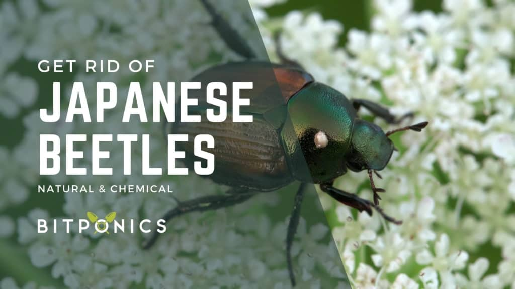 How to Get Rid of Adult Japanese Beetles