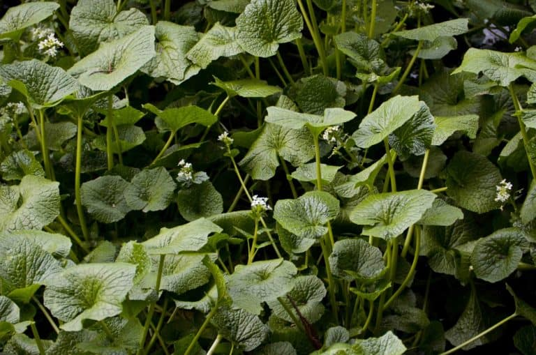 How to Grow Wasabi Inside or Outdoors (The Complete Guide)