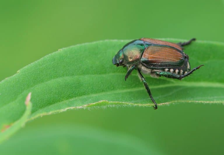 How to Get Rid of Japanese Beetles Quickly (3 Ways)