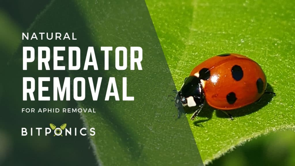 Natural predator removal for aphids.