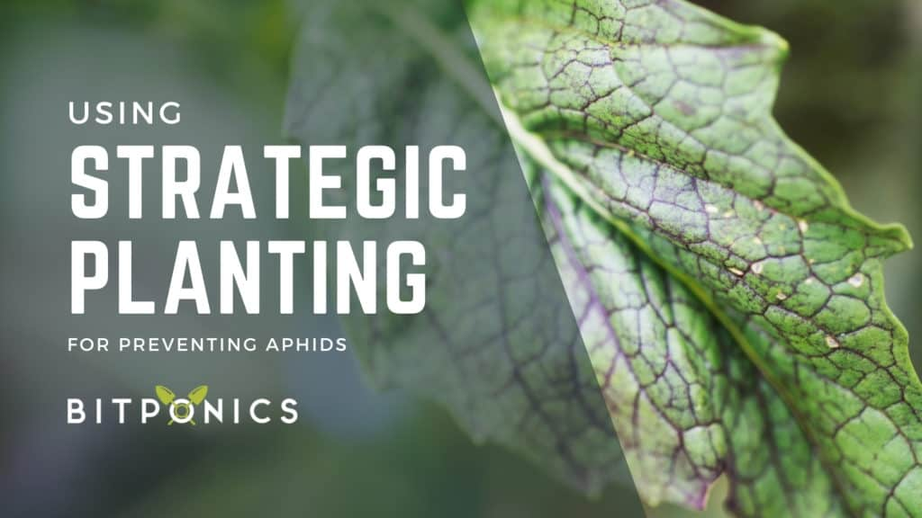 Using strategic planting to prevent aphids