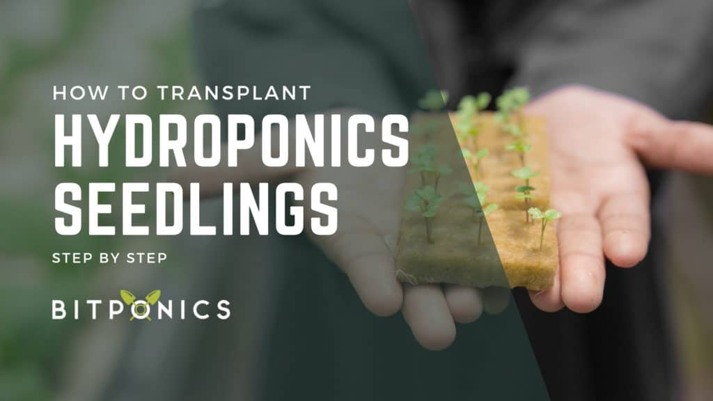 How Should You Transplant Your Seeds Into Your Hydroponics System?