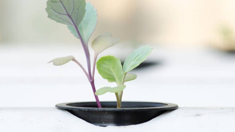 When To Transplant Seedlings With Hydroponics