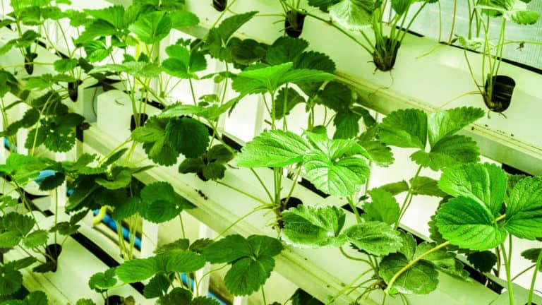 How Do Plants Get Nutrients In Hydroponics?
